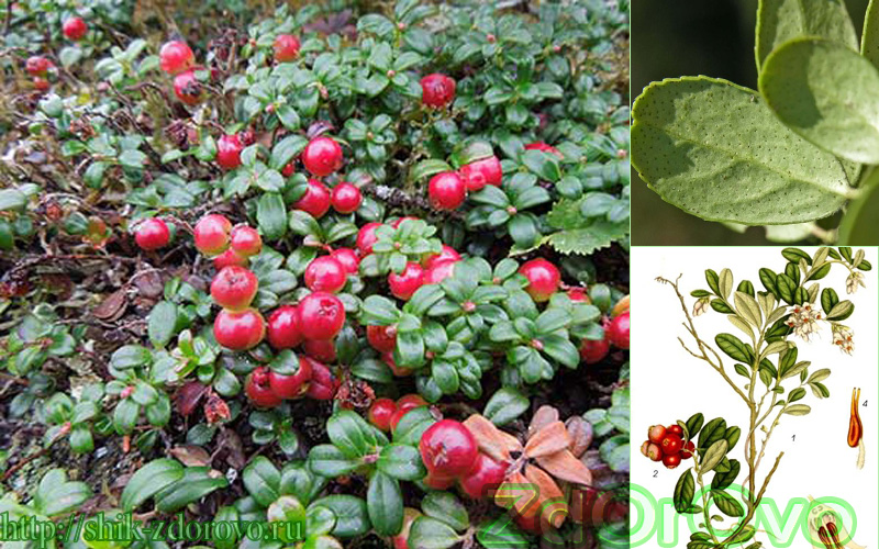 Брусника Фото, ягода
