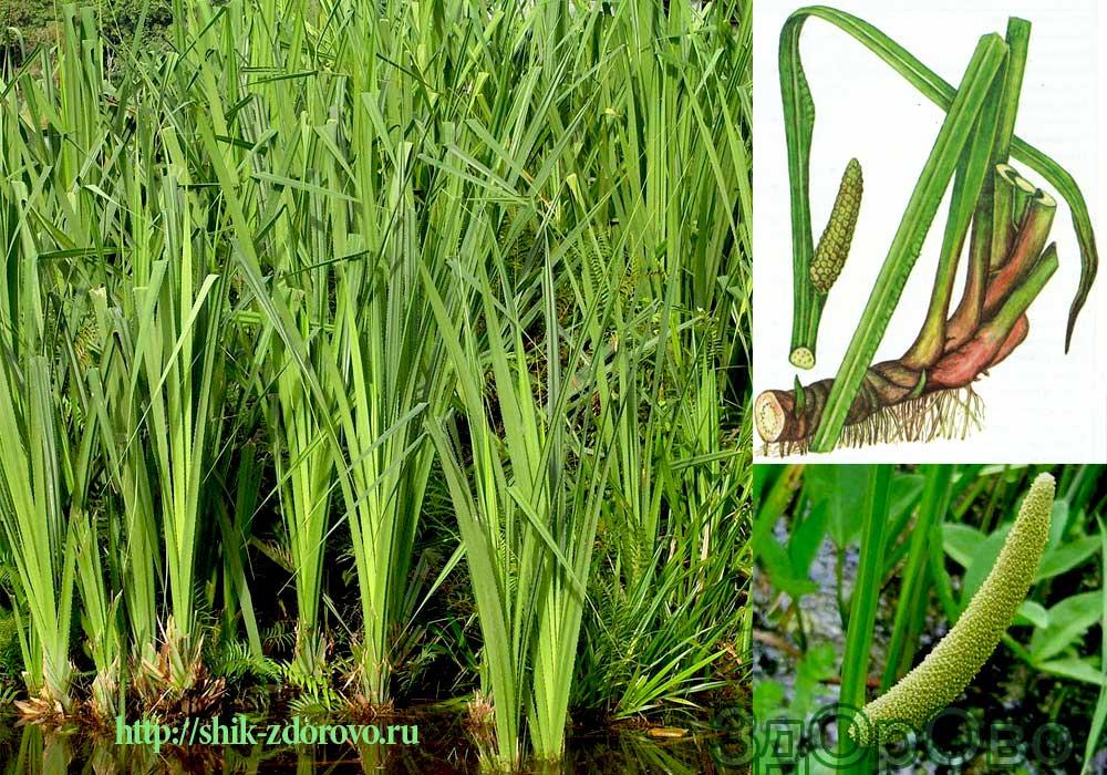 Фото аира болотного