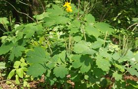 Чистотел. Фото растения