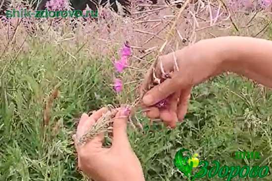 Как собирать цветы кипрея
