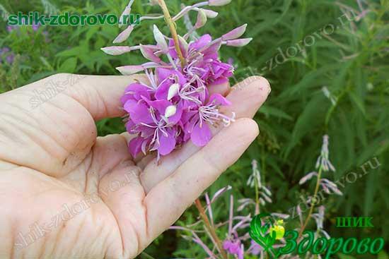 Как собирать цветы иван-чая