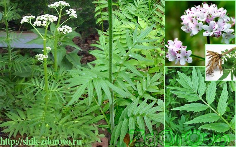 Трава валериана. Фото растения
