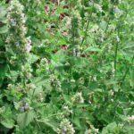 Мелисса трава. Полезные свойства и противопоказания