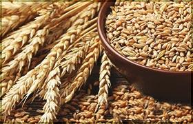 Как проращивать зерно правильно
