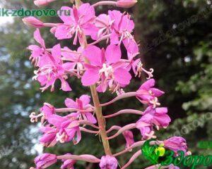 Цветки кипрея